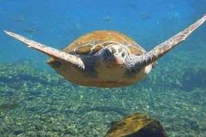 swim with turtles lano beach savaii
